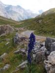 Asi modrofialová pampeliška na cyklostezce vedoucí od jezera Cancano(Lago di Cancano) do Livigna přes passo Alpisella